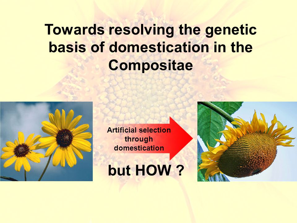 Towards resolving the genetic basis of domestication in the Compositae Artificial selection through domestication but HOW