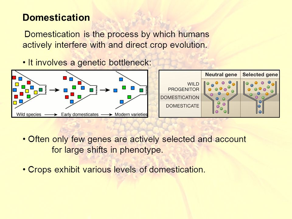 Parallel evolution for sticky glutinous varieties in rice and foxtail millets, all through selection at the waxy locus Most QTL studies suggest that many domestication traits are controlled by a few genes of large effect – not though in sunflower Population genomic studies in maize suggest 2 – 4% of genes show evidence of artificial selection