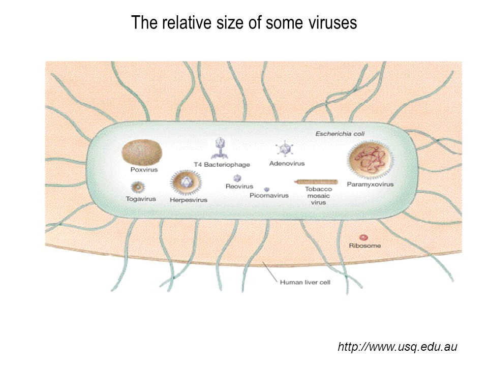 The relative size of some viruses http://www.usq.edu.au