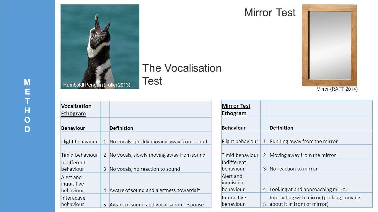 METHODMETHOD The Vocalisation Test Mirror Test Vocalisation Ethogram Behaviour Definition Flight behaviour1No vocals, quickly moving away from sound Timid behaviour2No vocals, slowly moving away from sound Indifferent behaviour3No vocals, no reaction to sound Alert and inquisitive behaviour4Aware of sound and alertness towards it Interactive behaviour5Aware of sound and vocalisation response Mirror Test Ethogram Behaviour Definition Flight behaviour1Running away from the mirror Timid behaviour2Moving away from the mirror Indifferent behaviour3No reaction to mirror Alert and inquisitive behaviour4Looking at and approaching mirror Interactive behaviour5 Interacting with mirror (pecking, moving about it in front of mirror) Humboldt Penguin (Fuller 2013) Mirror (RAFT 2014)