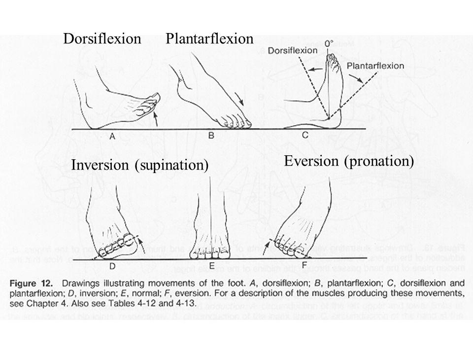 Dorsiflexion Plantarflexion Inversion (supination) Eversion (pronation)