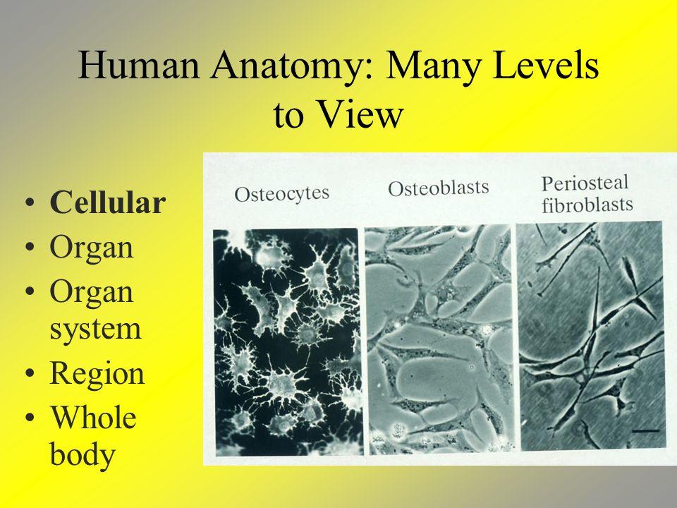 Human Anatomy: Many Levels to View Cellular Organ Organ system Region Whole body