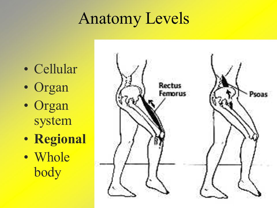 Anatomy Levels Cellular Organ Organ system Regional Whole body