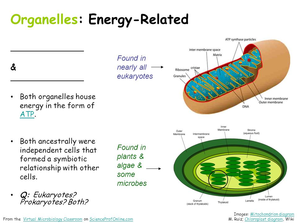 Organelles: Energy-Related ______________ & ______________ Both organelles house energy in the form of ATP.