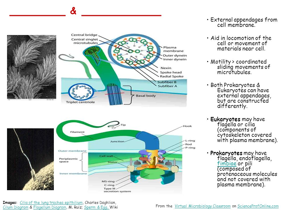 _______ & __________ External appendages from cell membrane.