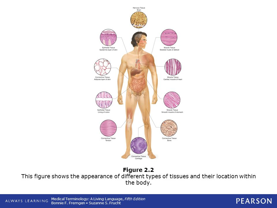 Medical Terminology: A Living Language, Fifth Edition Bonnie F. Fremgen Suzanne S. Frucht Figure 2.2 This figure shows the appearance of different typ