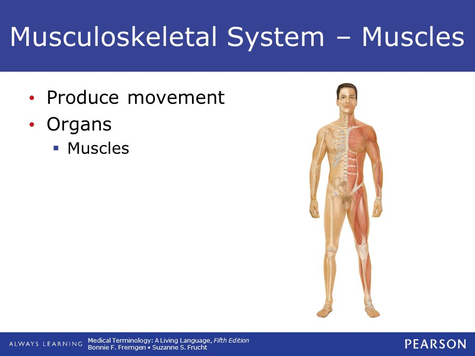 Medical Terminology: A Living Language, Fifth Edition Bonnie F. Fremgen Suzanne S. Frucht Musculoskeletal System – Muscles Produce movement Organs  M
