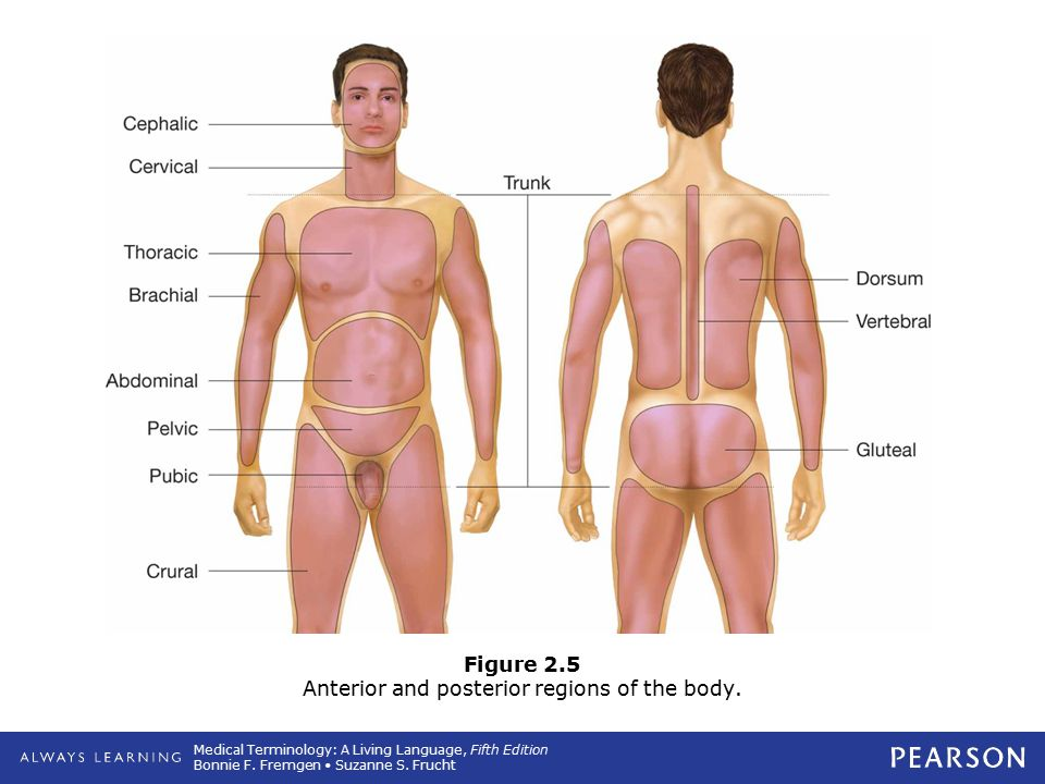 Medical Terminology: A Living Language, Fifth Edition Bonnie F. Fremgen Suzanne S. Frucht Figure 2.5 Anterior and posterior regions of the body.