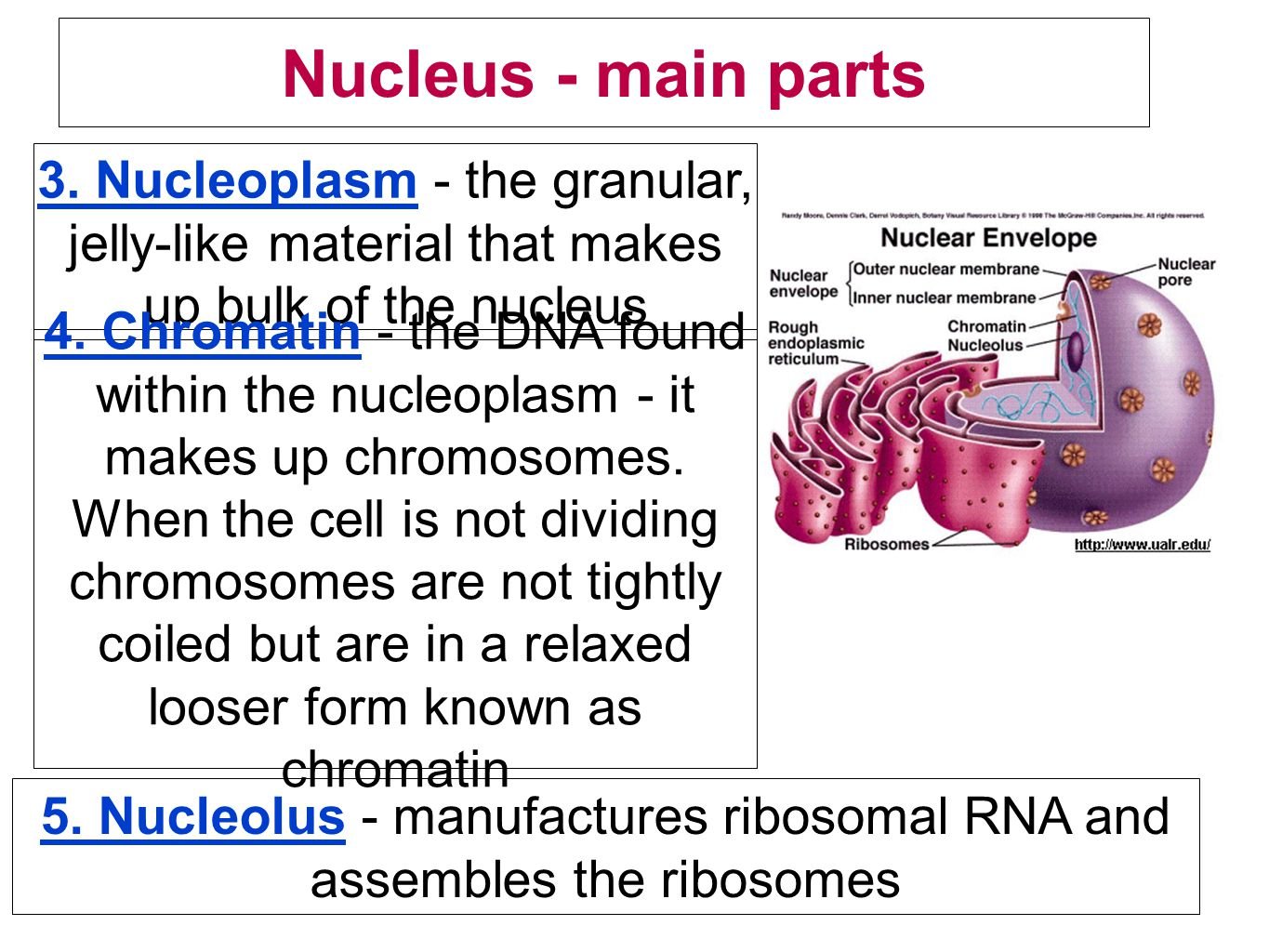 Nucleus - main parts 3. Nucleoplasm - the granular, jelly-like material that makes up bulk of the nucleus 4. Chromatin - the DNA found within the nucl