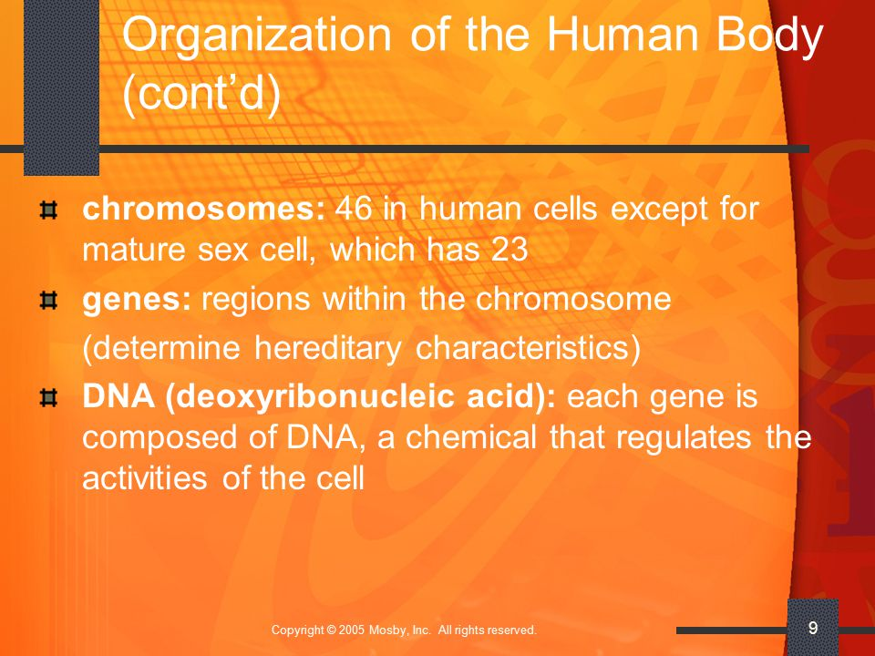 Copyright © 2005 Mosby, Inc. All rights reserved. 9 Organization of the Human Body (cont'd) chromosomes: 46 in human cells except for mature sex cell,