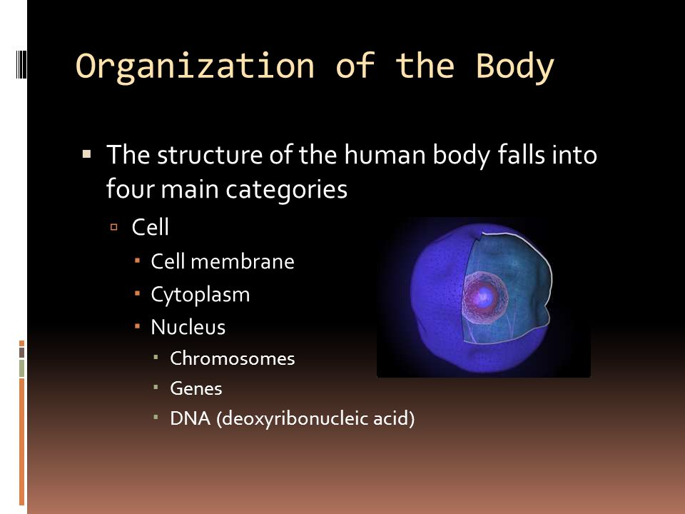 Organization of the Body  The structure of the human body falls into four main categories  Cell  Cell membrane  Cytoplasm  Nucleus  Chromosomes  Genes  DNA (deoxyribonucleic acid)
