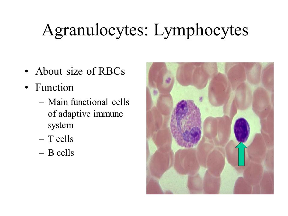 Agranulocytes: Lymphocytes About size of RBCs Function –Main functional cells of adaptive immune system –T cells –B cells