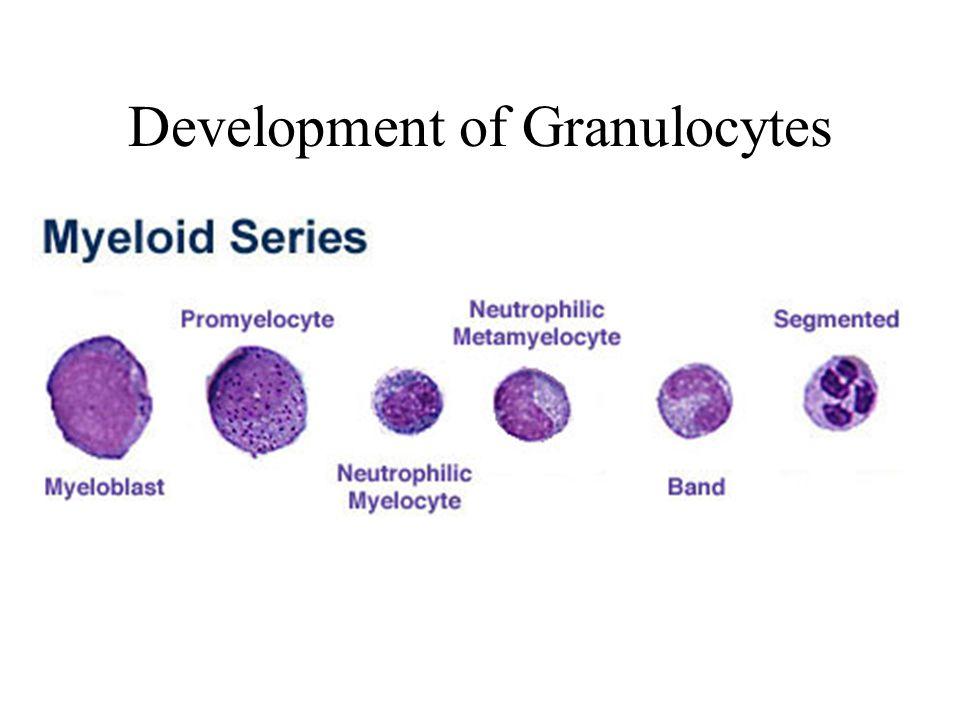 Development of Granulocytes