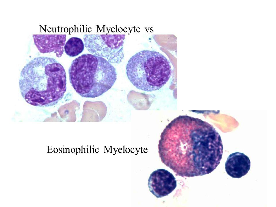 Neutrophilic Myelocyte vs Eosinophilic Myelocyte