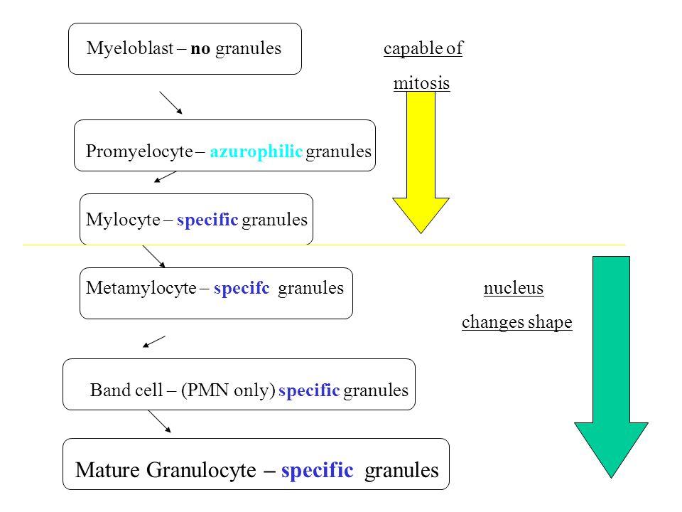Myeloblast – no granules capable of mitosis Promyelocyte – azurophilic granules Mylocyte – specific granules Metamylocyte – specifc granules nucleus c