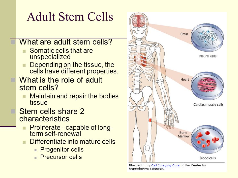 Adult Stem Cells What are adult stem cells? Somatic cells that are unspecialized Depending on the tissue, the cells have different properties. What is