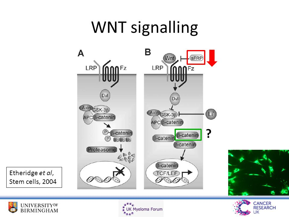 WNT signalling ? Etheridge et al, Stem cells, 2004
