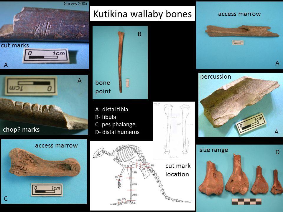 Kutikina wallaby bones cut marks chop? marks percussion access marrow bone point size range cut mark location A A D A A B C A- distal tibia B- fibula