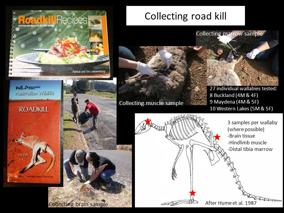 Collecting road kill 27 individual wallabies tested: 8 Buckland (4M & 4F) 9 Maydena (4M & 5F) 10 Western Lakes (5M & 5F) 3 samples per wallaby (where