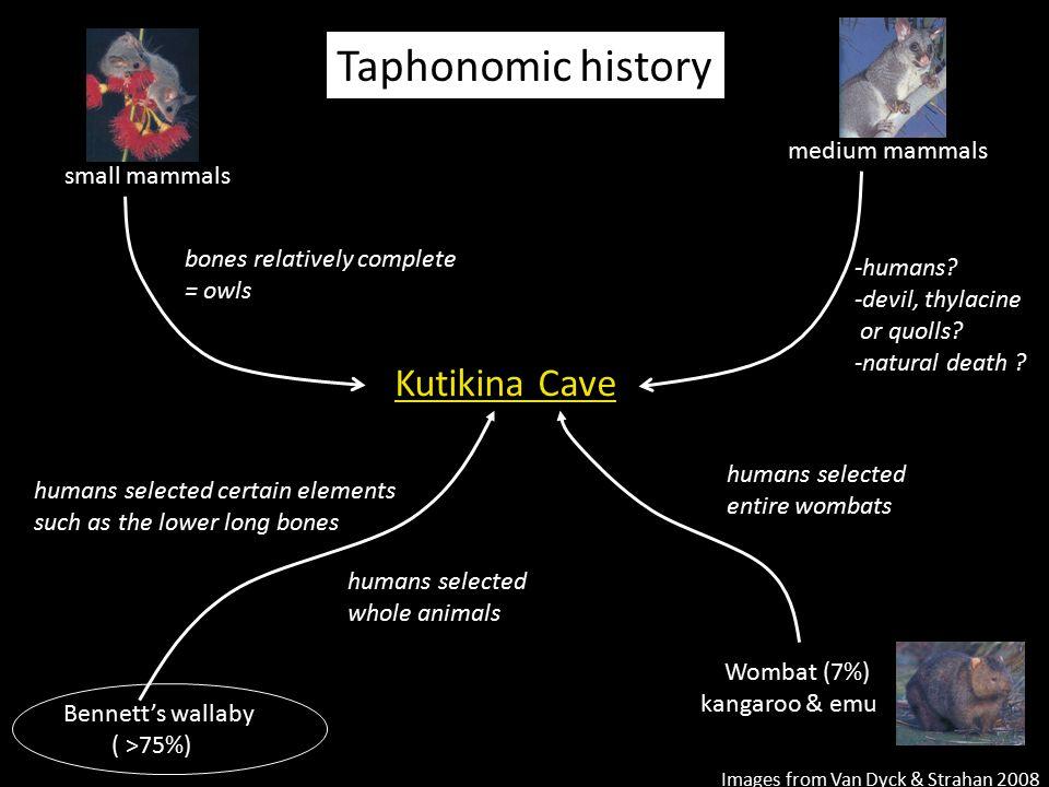 Kutikina Cave Bennett's wallaby ( >75%) Wombat (7%) kangaroo & emu small mammals medium mammals bones relatively complete = owls -humans? -devil, thyl