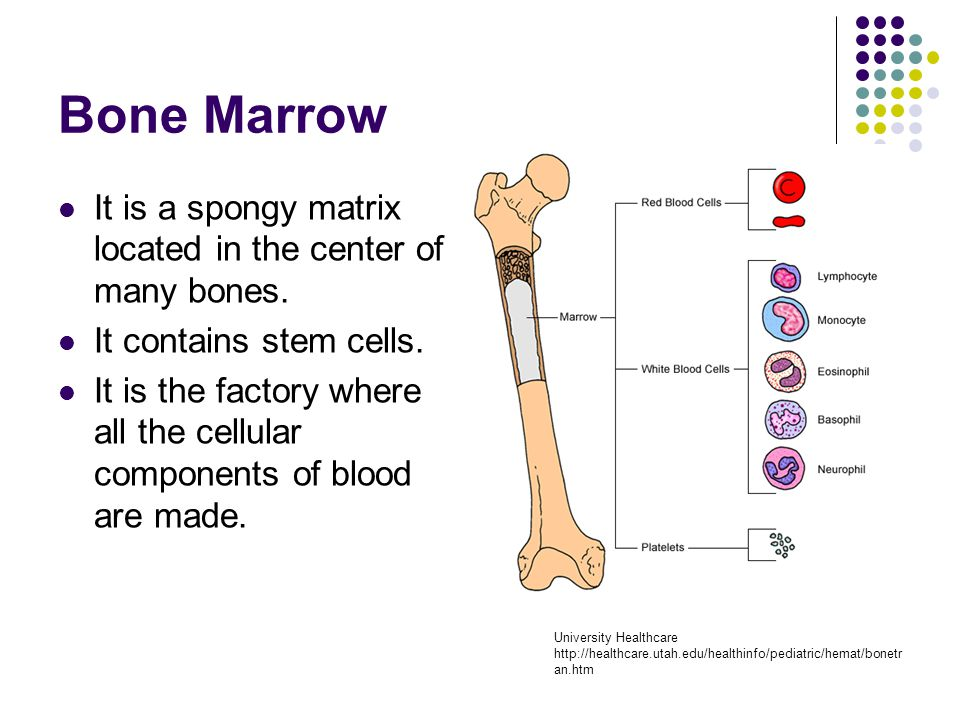 Bone Marrow It is a spongy matrix located in the center of many bones. It contains stem cells. It is the factory where all the cellular components of