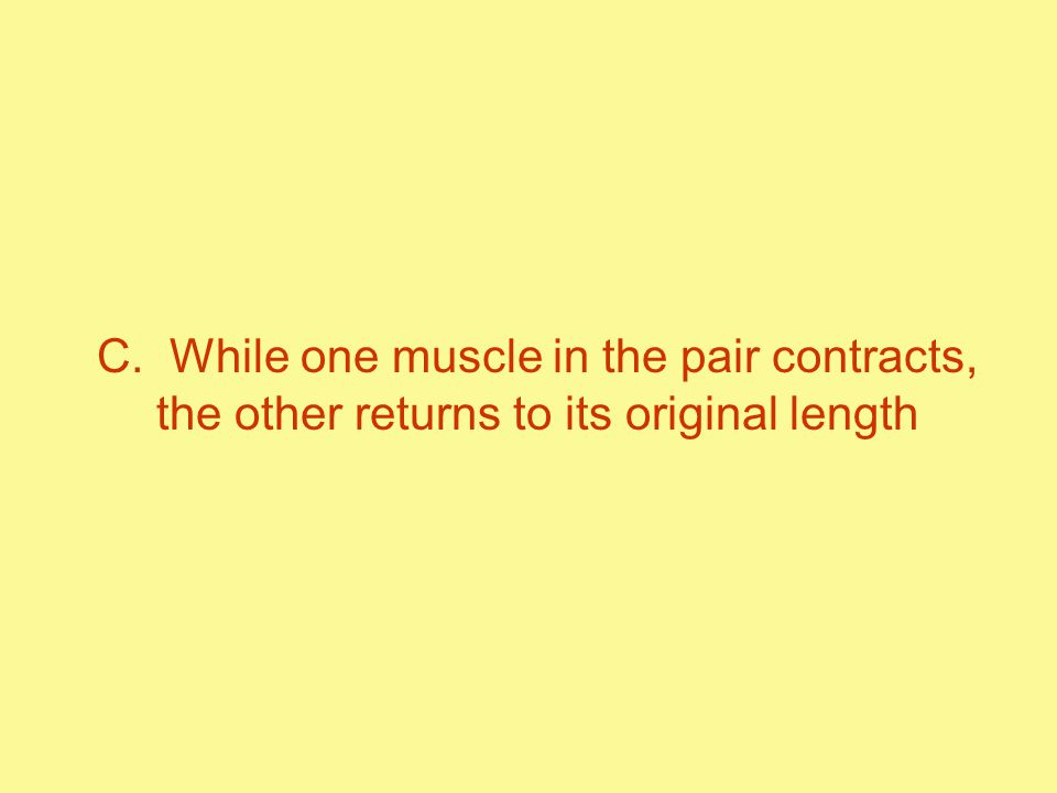 C. While one muscle in the pair contracts, the other returns to its original length