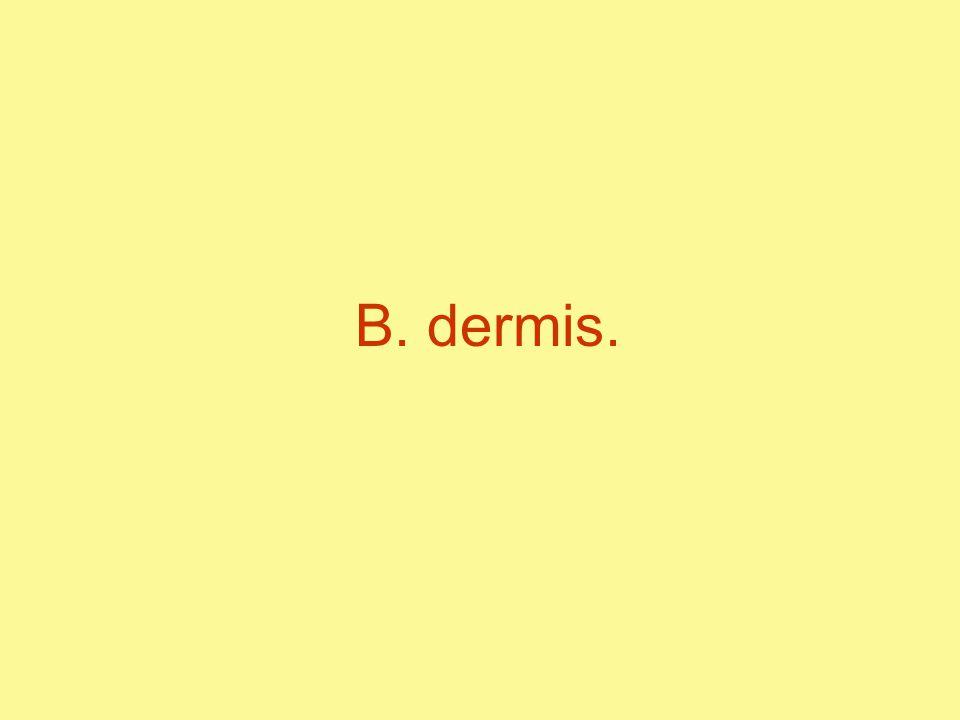 B. dermis.