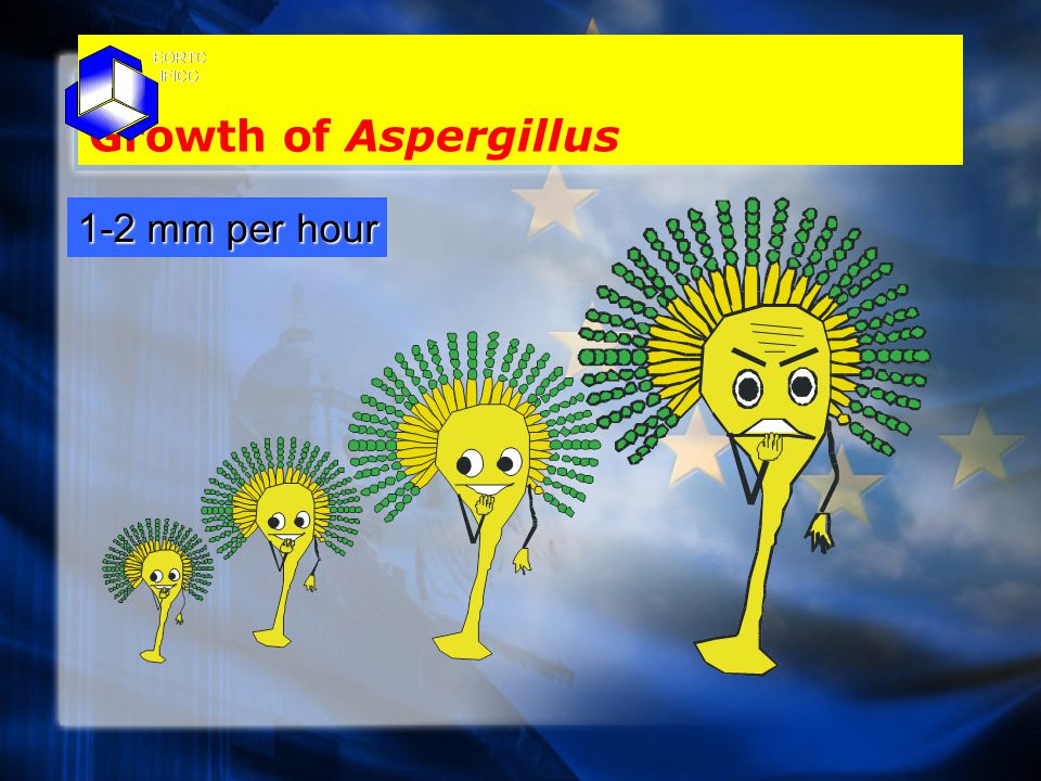 Growth of Aspergillus 1-2 mm per hour