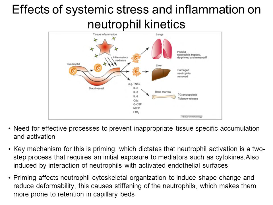 Effects of systemic stress and inflammation on neutrophil kinetics Need for effective processes to prevent inappropriate tissue specific accumulation and activation Key mechanism for this is priming, which dictates that neutrophil activation is a two- step process that requires an initial exposure to mediators such as cytokines.Also induced by interaction of neutrophils with activated endothelial surfaces Priming affects neutrophil cytoskeletal organization to induce shape change and reduce deformability, this causes stiffening of the neutrophils, which makes them more prone to retention in capillary beds