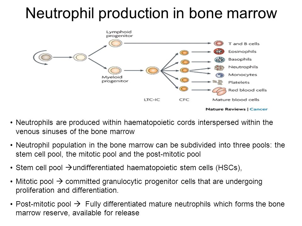 Neutrophil production in bone marrow Neutrophils are produced within haematopoietic cords interspersed within the venous sinuses of the bone marrow Neutrophil population in the bone marrow can be subdivided into three pools: the stem cell pool, the mitotic pool and the post-mitotic pool Stem cell pool  undifferentiated haematopoietic stem cells (HSCs), Mitotic pool  committed granulocytic progenitor cells that are undergoing proliferation and differentiation.