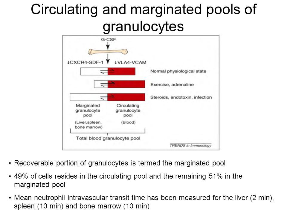 Circulating and marginated pools of granulocytes Recoverable portion of granulocytes is termed the marginated pool 49% of cells resides in the circulating pool and the remaining 51% in the marginated pool Mean neutrophil intravascular transit time has been measured for the liver (2 min), spleen (10 min) and bone marrow (10 min)