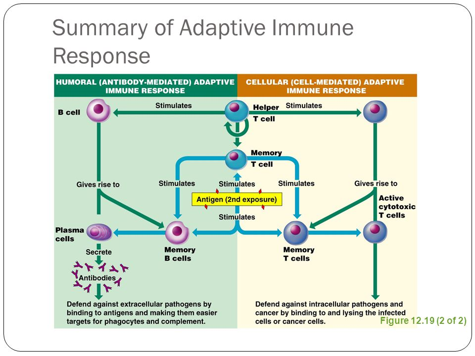 Figure 12.19 (2 of 2) Summary of Adaptive Immune Response