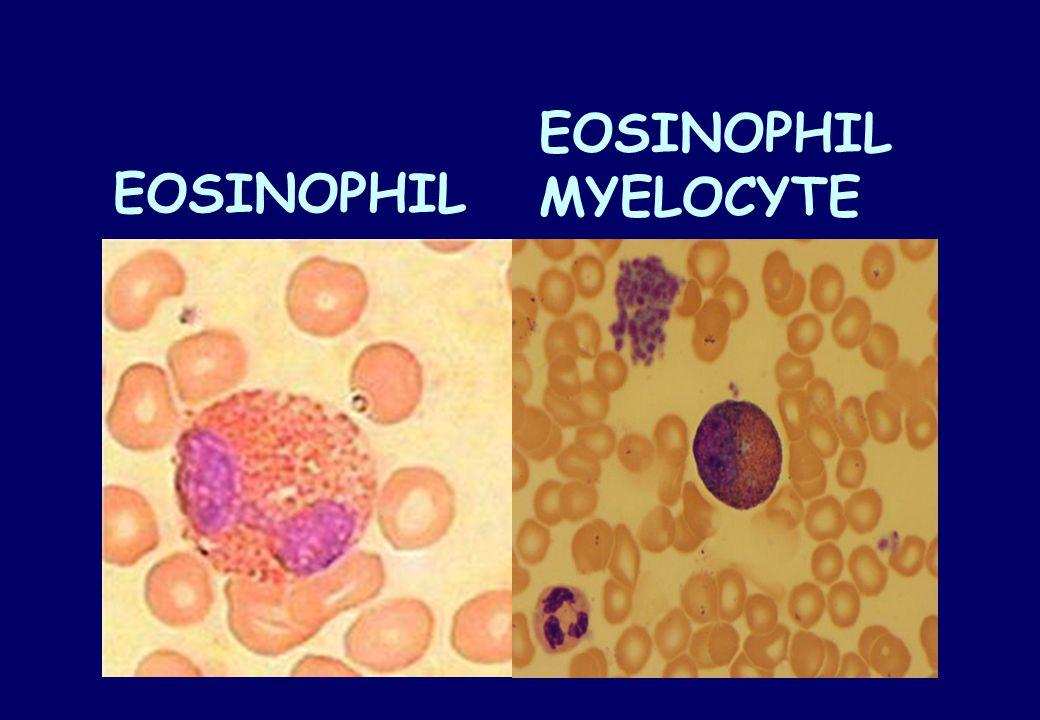 EOSINOPHIL MYELOCYTE EOSINOPHIL