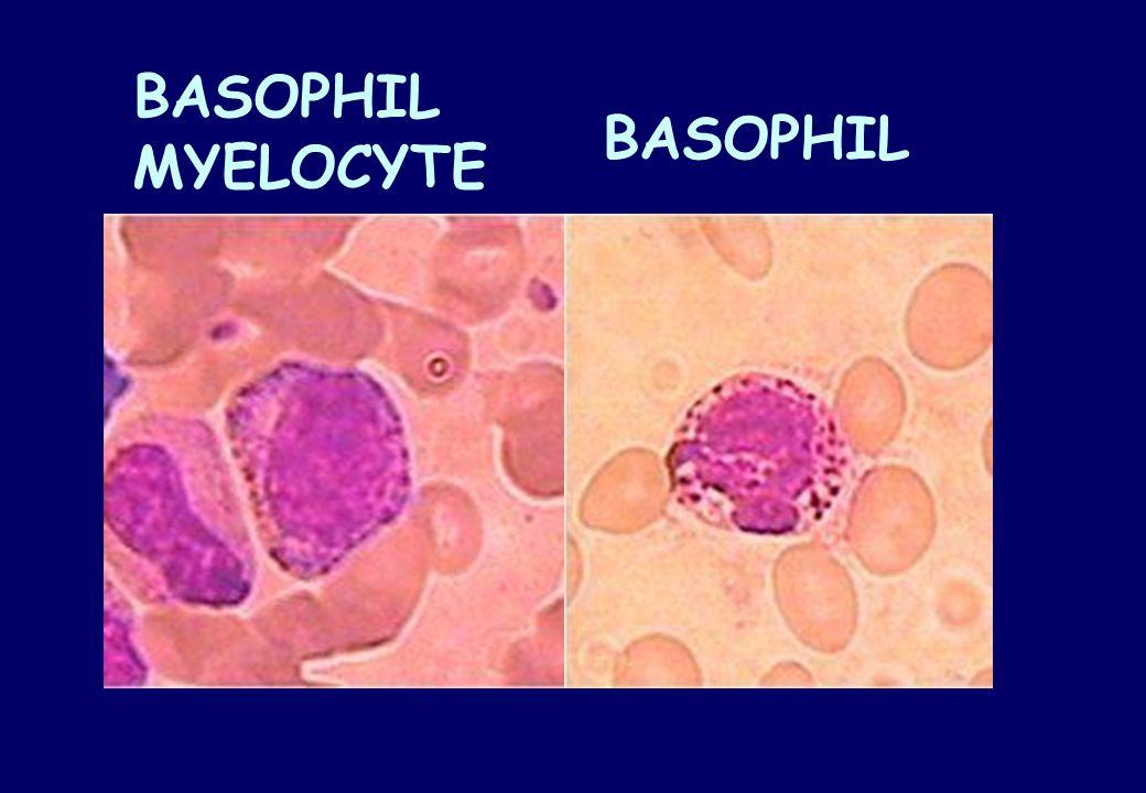 BASOPHIL MYELOCYTE BASOPHIL