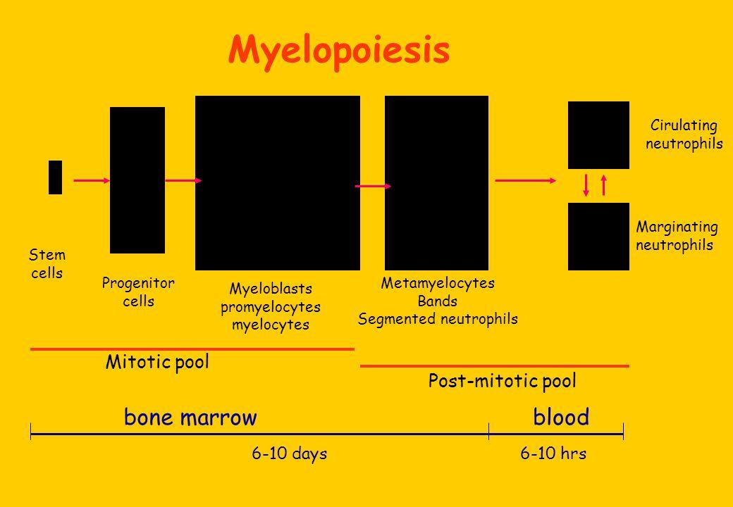 Cirulating neutrophils Marginating neutrophils Stem cells Progenitor cells Myeloblasts promyelocytes myelocytes Metamyelocytes Bands Segmented neutrophils Mitotic pool Post-mitotic pool bone marrowblood 6-10 days6-10 hrs Myelopoiesis