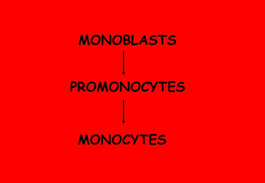 MONOCYTES PROMONOCYTES MONOBLASTS