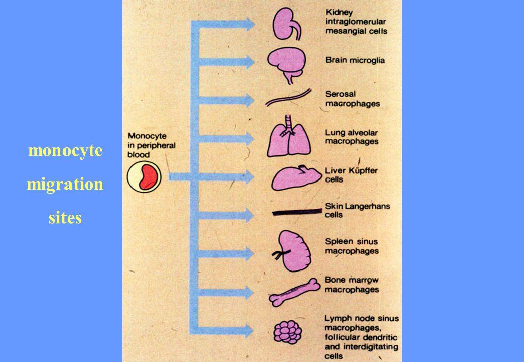 monocyte migration sites
