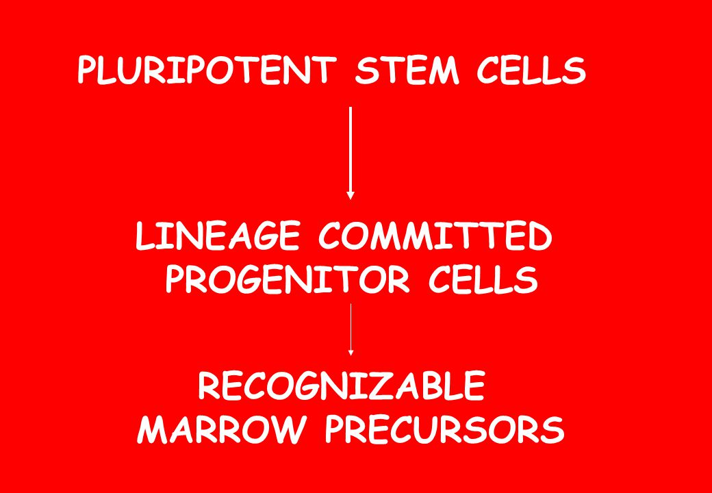 PLURIPOTENT STEM CELLS LINEAGE COMMITTED PROGENITOR CELLS RECOGNIZABLE MARROW PRECURSORS