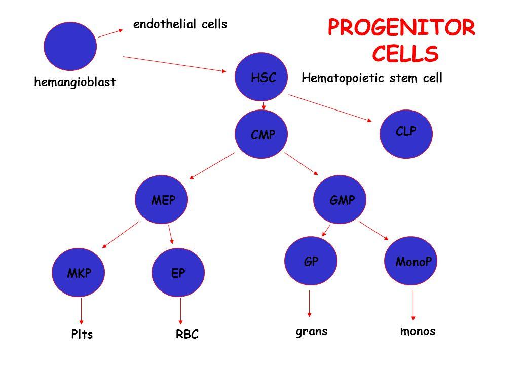 hemangioblast Hematopoietic stem cell endothelial cells MEP CMP GMP MKPEP RBCPlts CLP gransmonos GPMonoP HSC PROGENITOR CELLS
