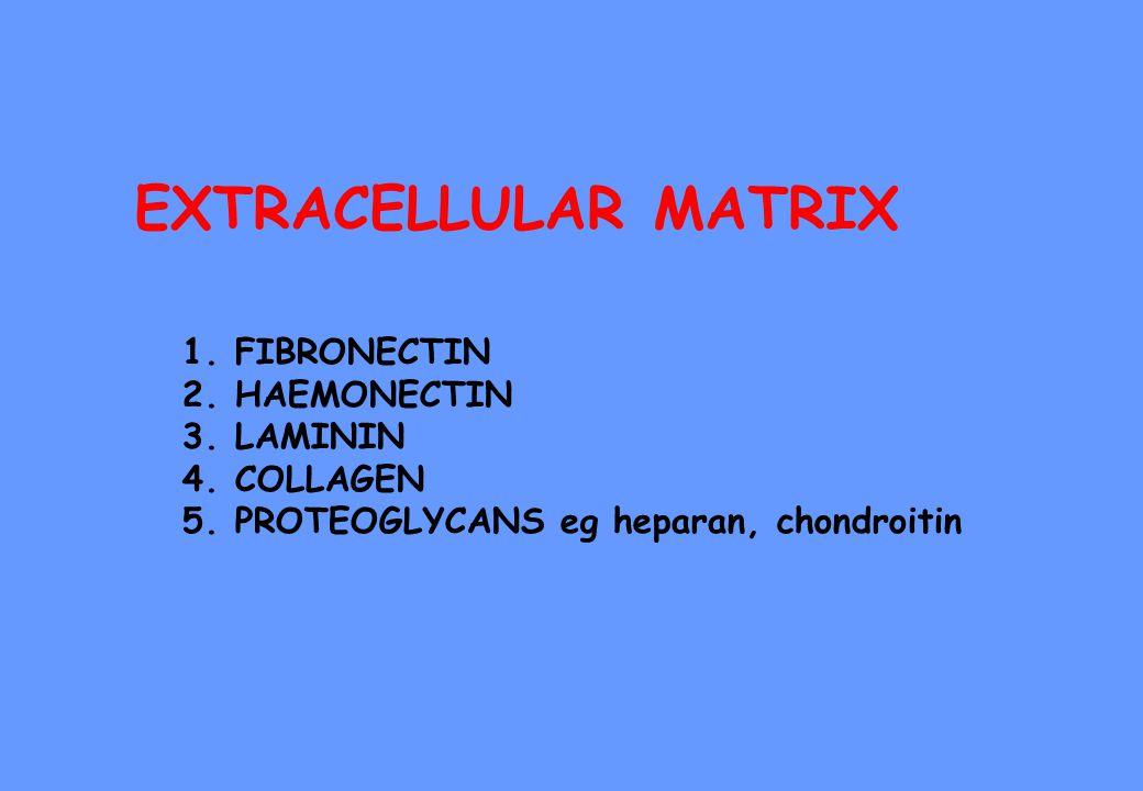 EXTRACELLULAR MATRIX 1.FIBRONECTIN 2.HAEMONECTIN 3.LAMININ 4.COLLAGEN 5.PROTEOGLYCANS eg heparan, chondroitin