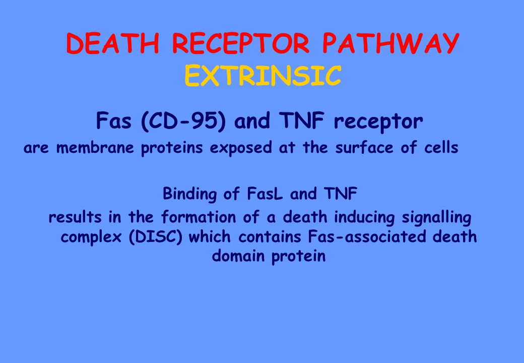 DEATH RECEPTOR PATHWAY EXTRINSIC Fas (CD-95) and TNF receptor are membrane proteins exposed at the surface of cells Binding of FasL and TNF results in the formation of a death inducing signalling complex (DISC) which contains Fas-associated death domain protein