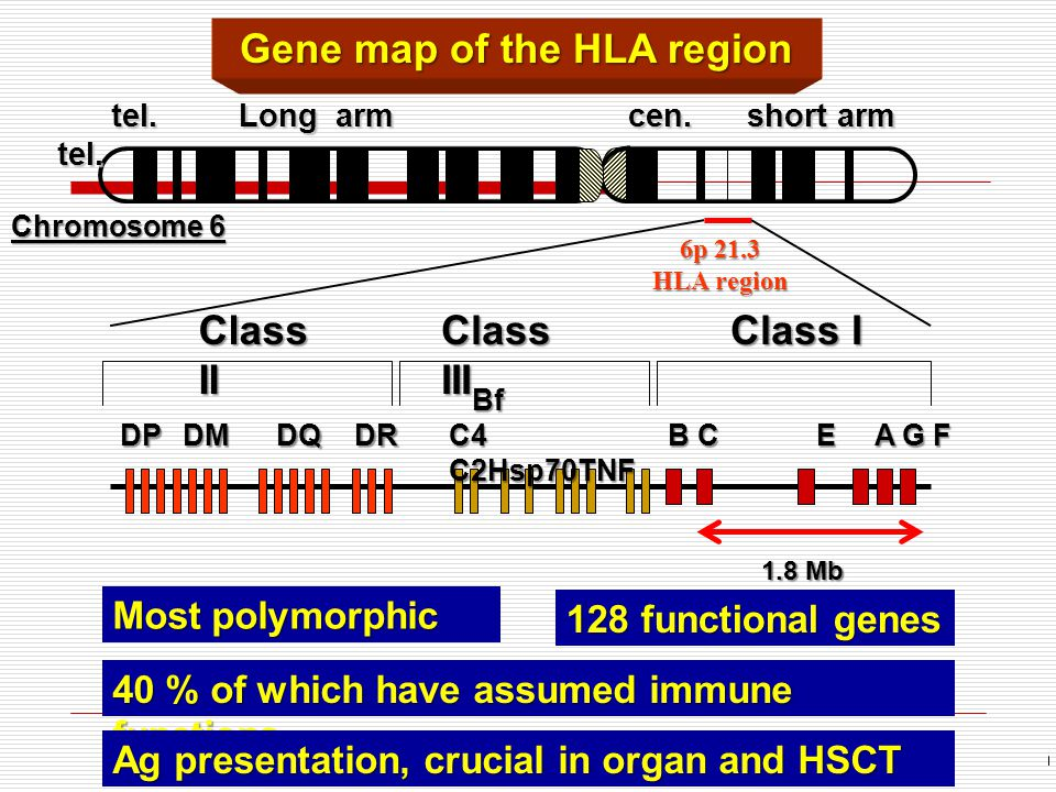 Chromosome 6 Gene map of the HLA region Class II Class III Class I 1.8 Mb 40 % of which have assumed immune functions tel.