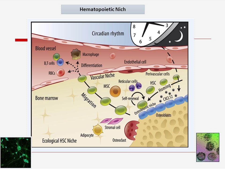 9 Hematopoietic Nich