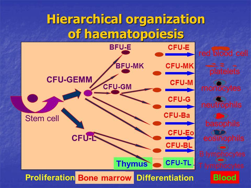 red blood cell platelets monocytes neutrophils basophils eosinophils B lymphocytes T lymphocytes Blood Bone marrow Proliferation Differentiation Thymu