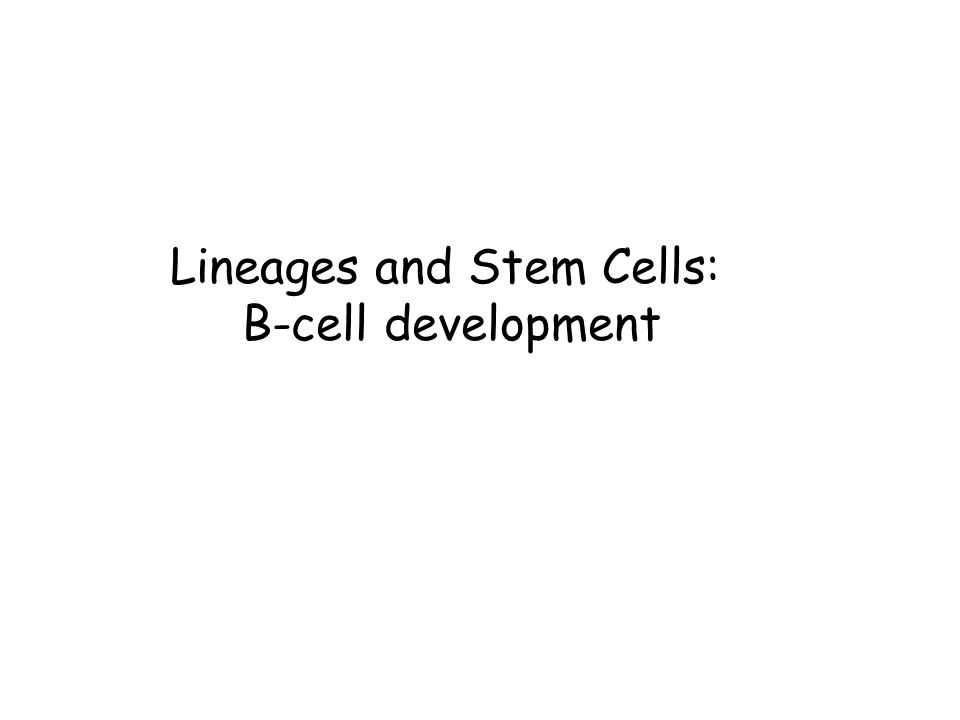 Lineages and Stem Cells: B-cell development