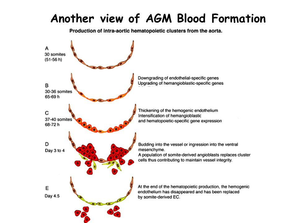 Another view of AGM Blood Formation