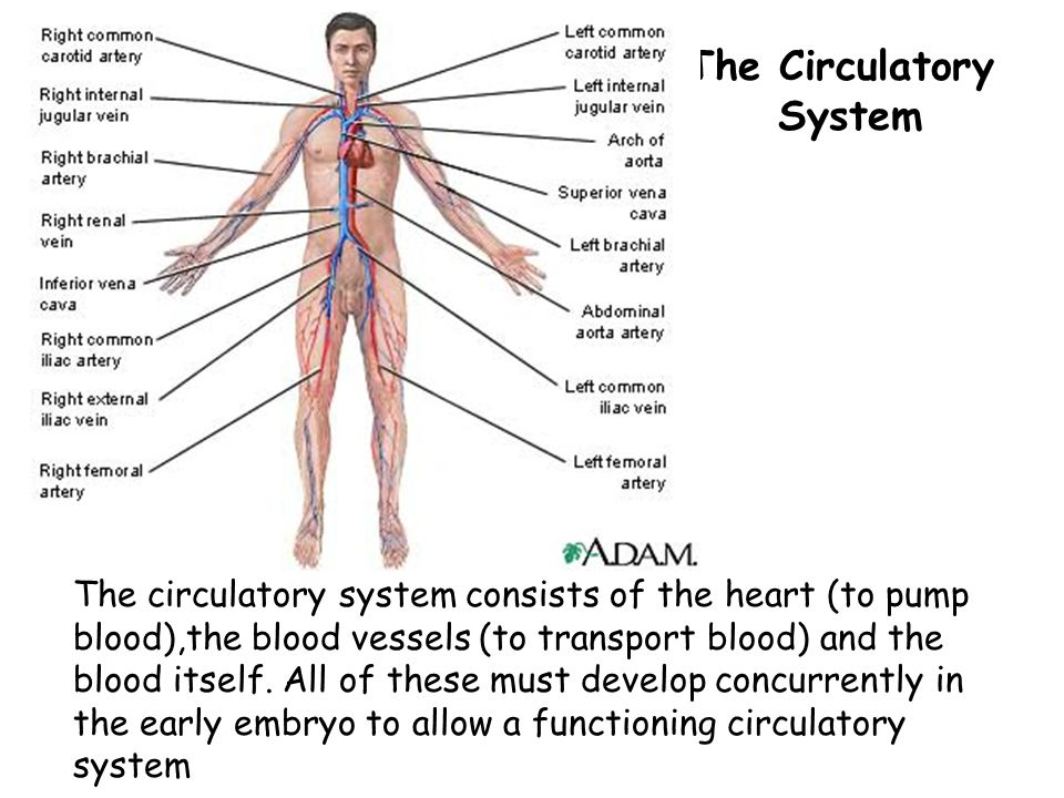 The Circulatory System The circulatory system consists of the heart (to pump blood),the blood vessels (to transport blood) and the blood itself.