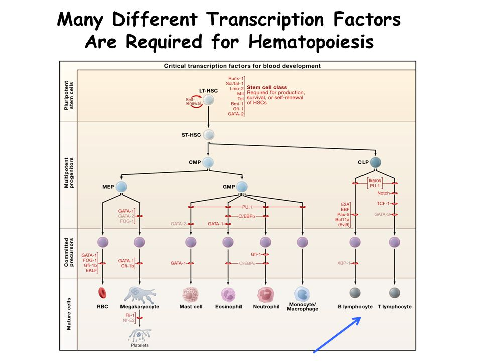 Many Different Transcription Factors Are Required for Hematopoiesis