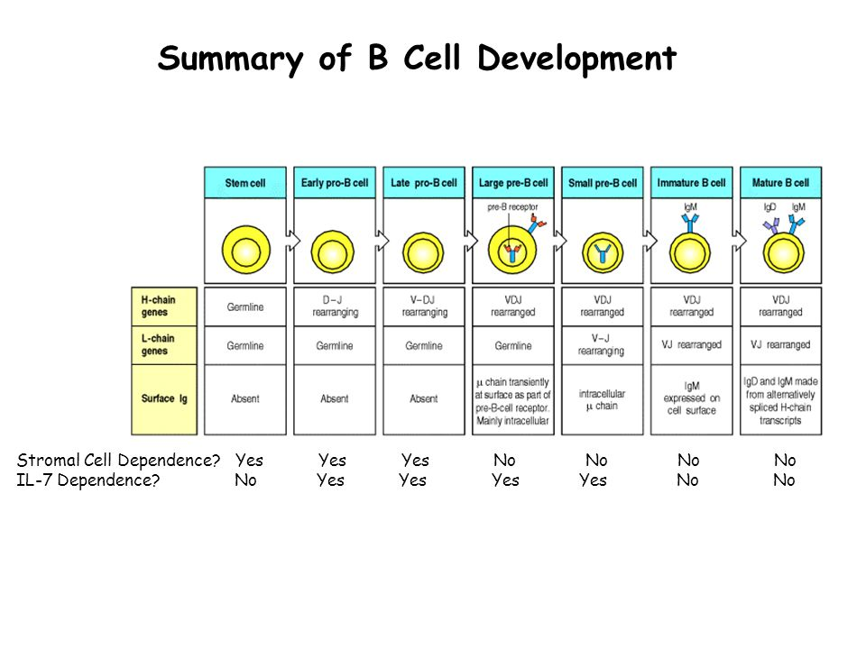Summary of B Cell Development Stromal Cell Dependence.