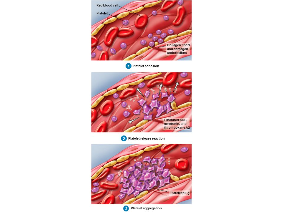 1 Red blood cell Platelet Collagen fibers and damaged endothelium Platelet adhesion 1 1 2 Red blood cell Platelet Collagen fibers and damaged endothel